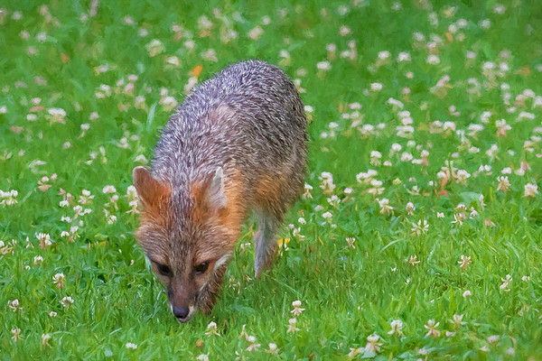 Grey Fox discovering cat food outside