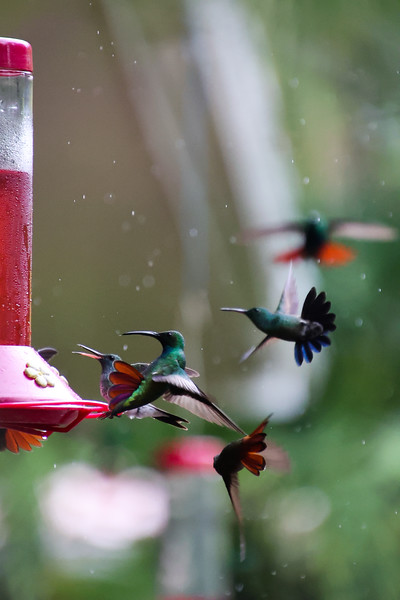hummingbird feeding on feeder