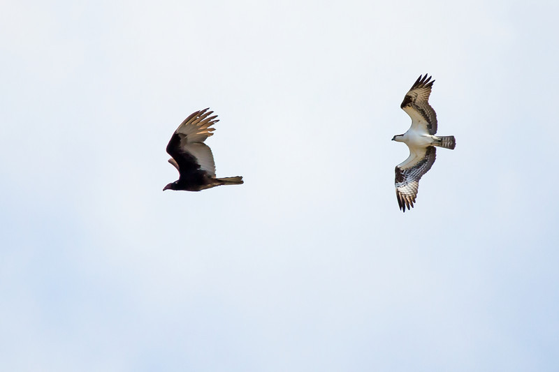 Osprey chasing Turkey Vulture that flew too close to nest.
