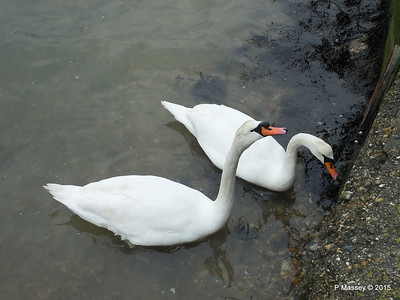 Marchwood Swans Various Dates