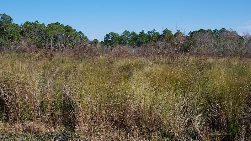 Marsh with tall grasses and pines beyond