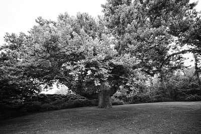 The Pinchot Tree_July 31, 2020