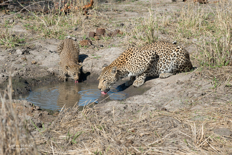 Leopard (Salayexe & cub), Sabi Sands (EP), SA, Sept 2015.jpg
