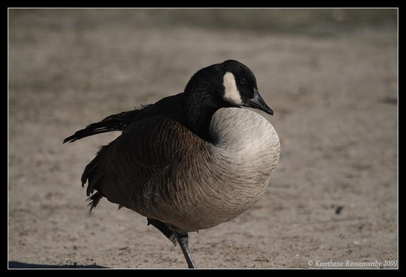 Canada Goose, Lake Murray, San Diego County, California, January 2009