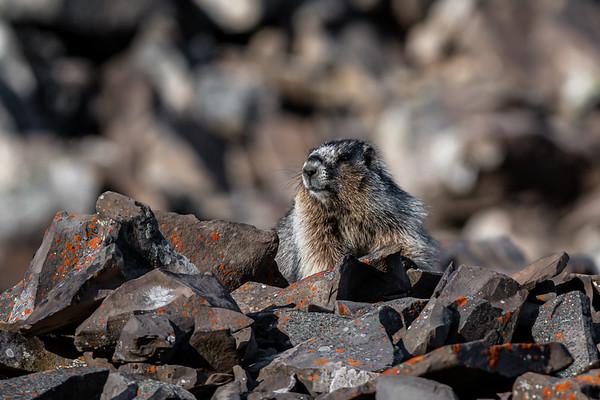 7-6-20 Hoary Marmot KC