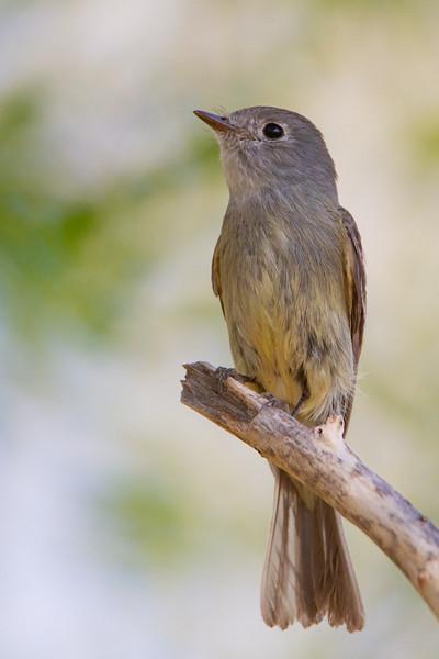 Dusky Flycatcher - Sierra Vista, AZ, USA
