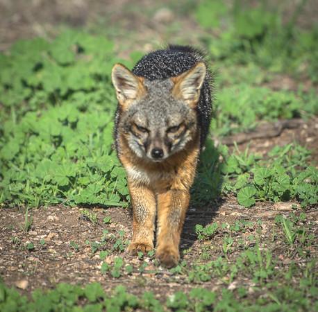 Nightfall Foxes
