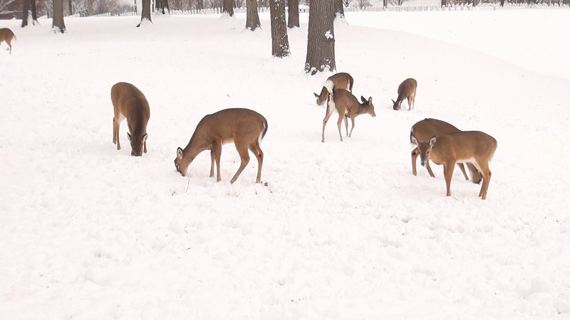 whitetail_snow_001.mov
