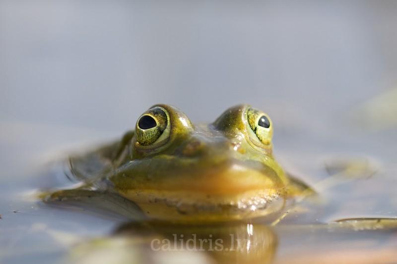 Edible frog in water