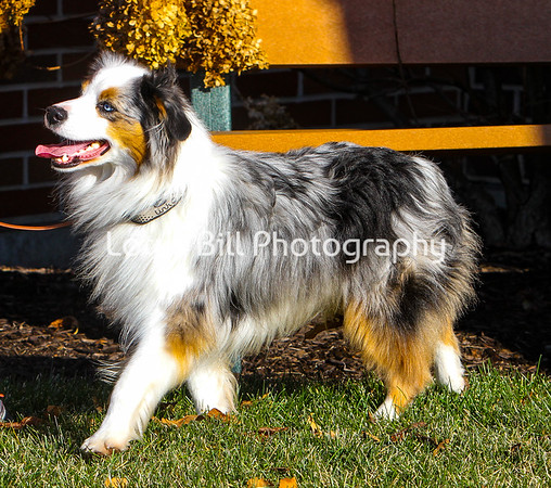 Iko Miniature American Shepherd Saturday