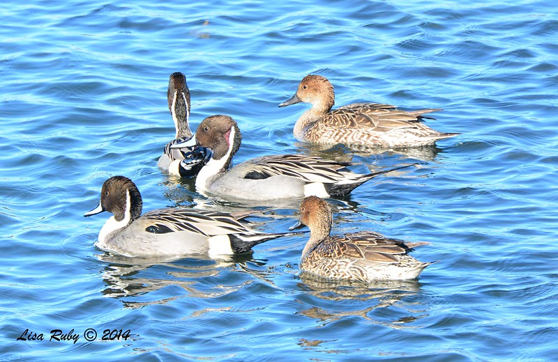 Northern Pintails - 12/29/2014 - Robb Field