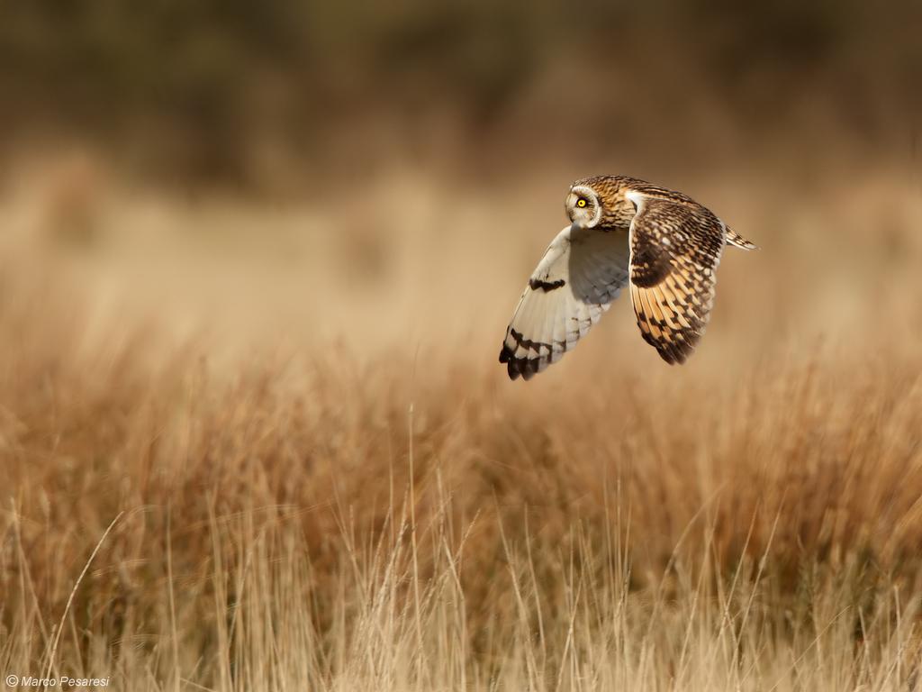 4. Short eared Owl