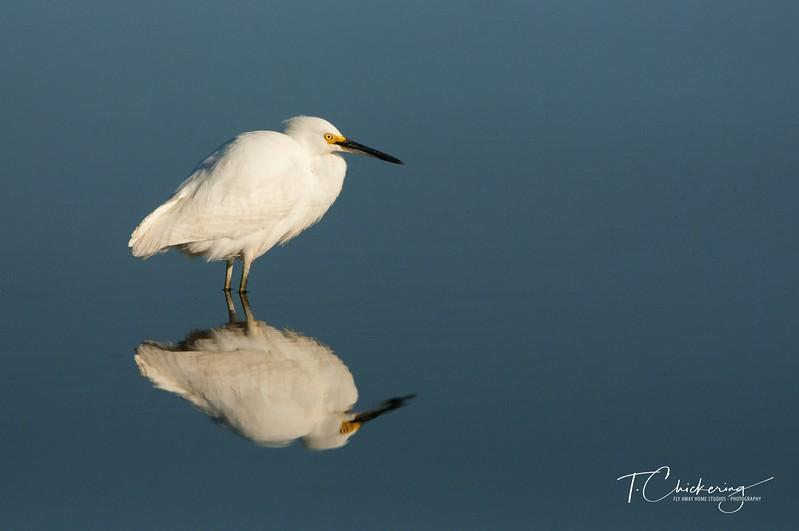 Snowy Egret Reflection-1512257290109.jpg