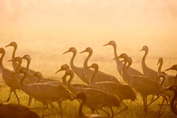 Crane & Moorhen &Eurasian Coot- עגורים,סופיות ואגמיות