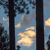 Sunset Colored Clouds Between Pine Trunks