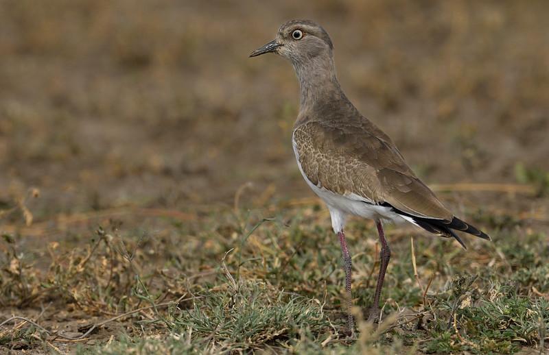 Black-winged-lapwing-juvenile-Serengeti-.jpg
