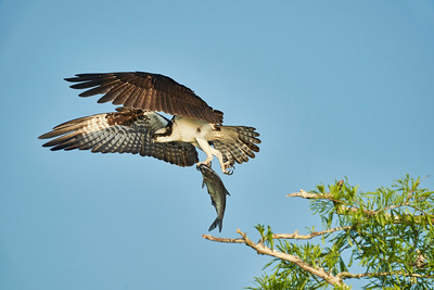 Osprey  other birds & scenes from Florida Blue Cypress