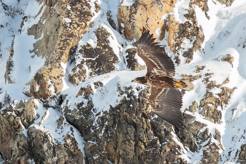 HAVØRN, WHITE-TAILED EAGLE, TROMS, NORWAY