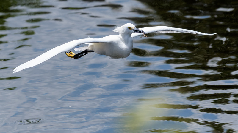 Snowy Egret flying in with twig