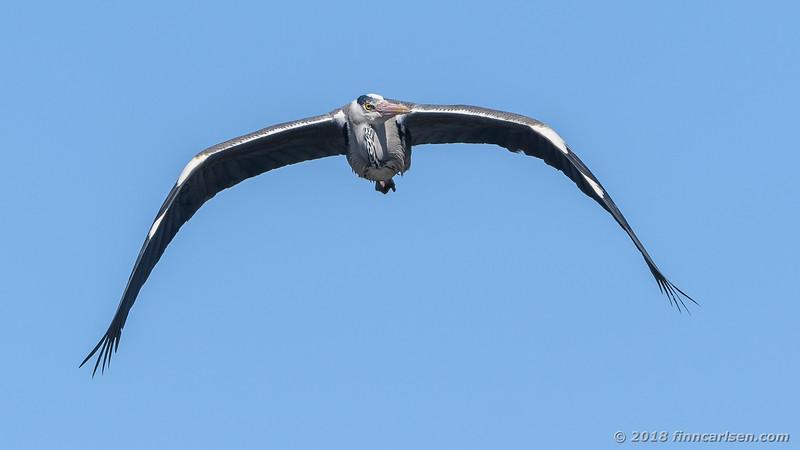 Fiskehejre - Ardea cinerea - Grey Heron