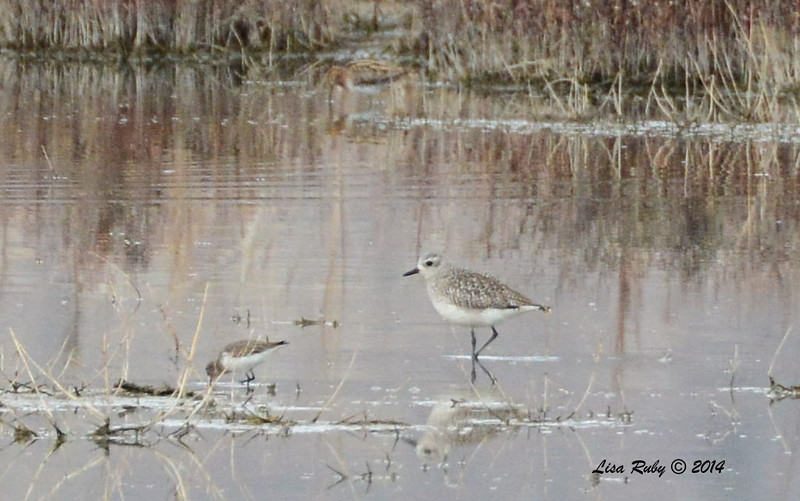 Black-bellied Plover - 11/30/2014 - San Jacinto Wildlife Area
