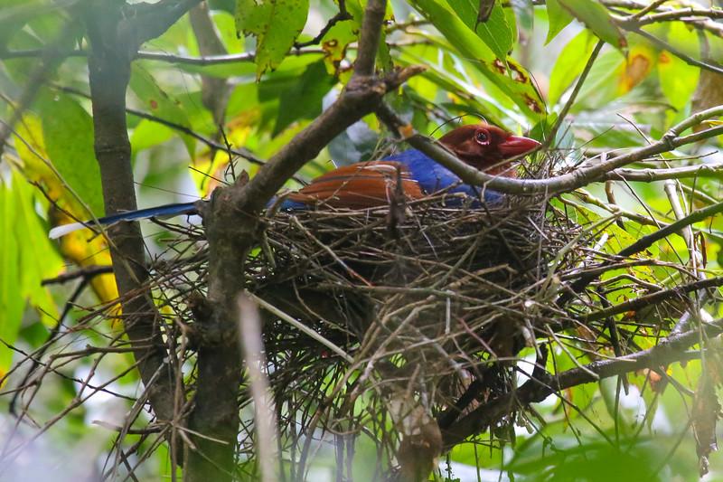 Sri Lanka Blue Magpie (Urocissa ornata)
