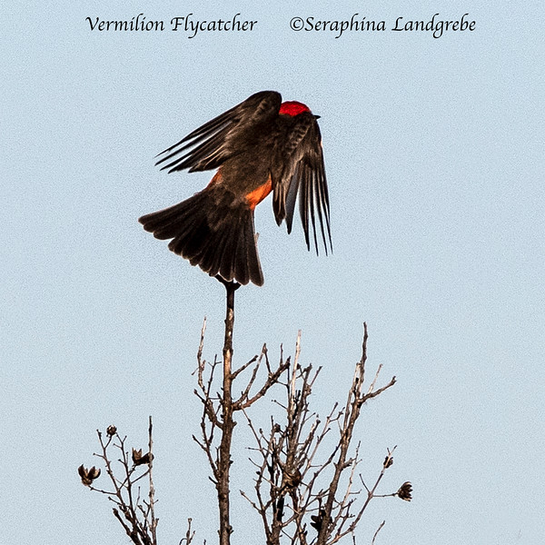 _DSC1406Vermillion Flycatcher flight.jpg