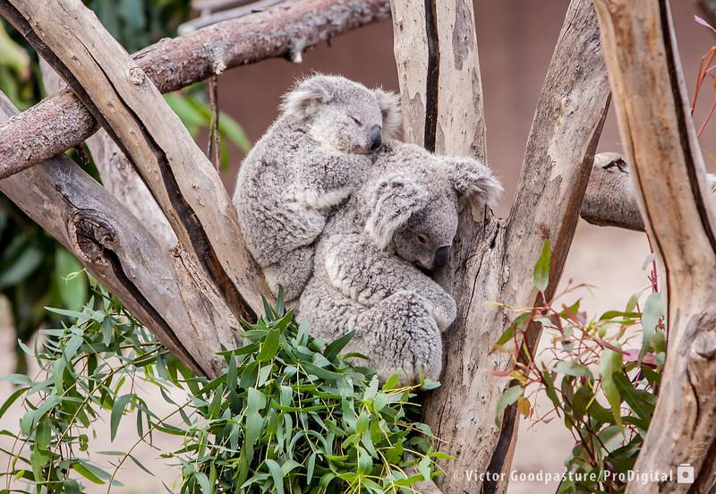Koalafornia-2.jpg