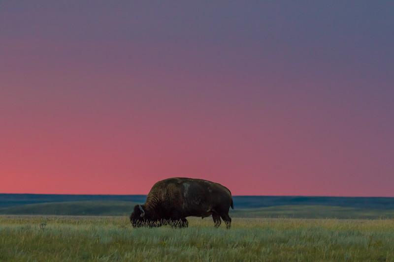 Bison Grasslands Canada 2019-2.jpg