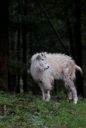 Wildlife Stock Photography - Mountain Goat Pictures