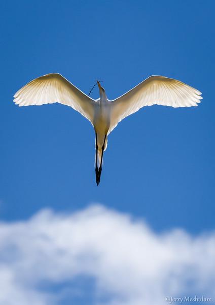 Egrets: W. Ninth St. Rookery