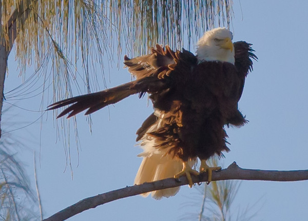 2011 - Bald Eagles of Pembroke Pines, FL