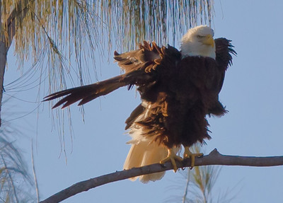 2011 - Bald Eagles of Pembroke Pines, FL