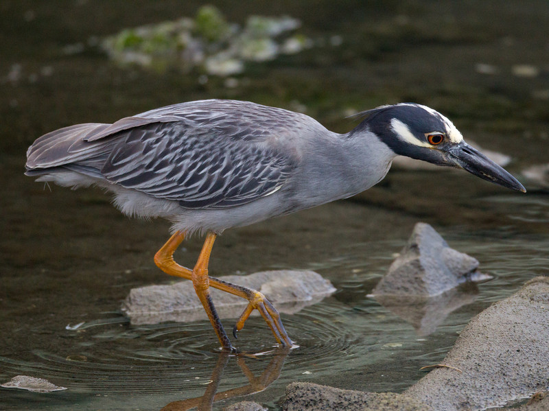 Yellow-crowned Night-Heron  San Diego River 2011 07 02-12.CR2