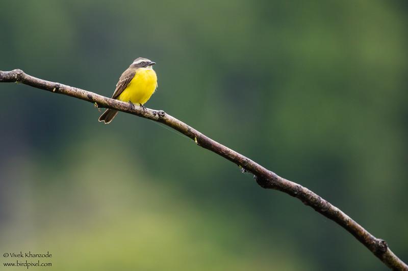 Social Flycatcher - Amazon, Ecuador