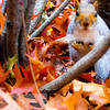 Squirrel in Fall Leaves