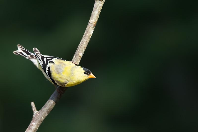 American Goldfinch - Male - Grayling, MI, USA
