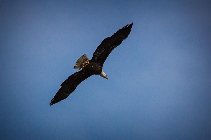Eagle Soaring-7080.jpg