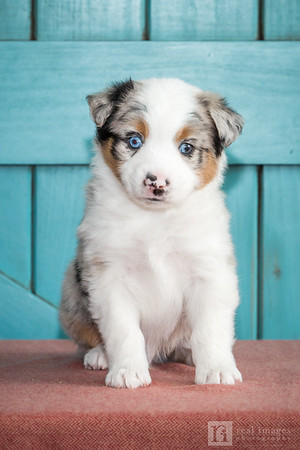 Sweet Spot Mini Aussies 09.24.15