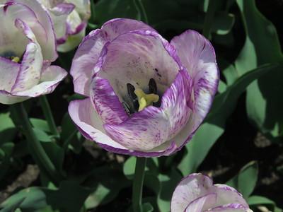 2016 Washington Park Tulips