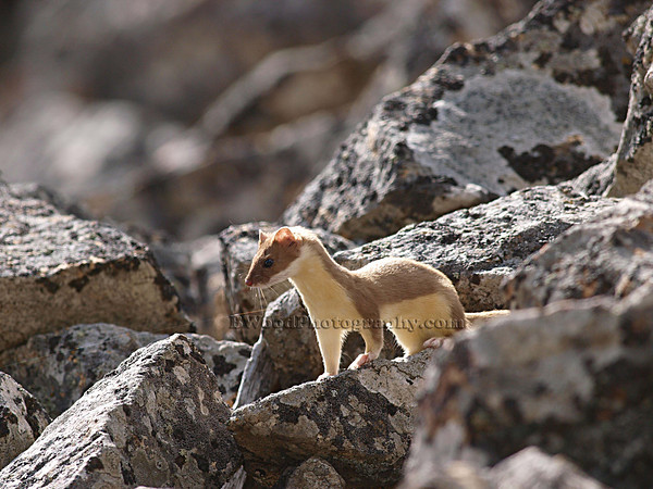 Short tailed Weasel (Ermine)