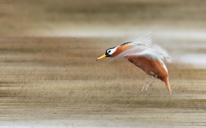 Red Phalarope blur