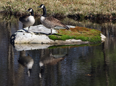 Geese on rock reflected 033120