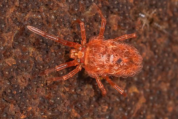 Genus Chyzeria