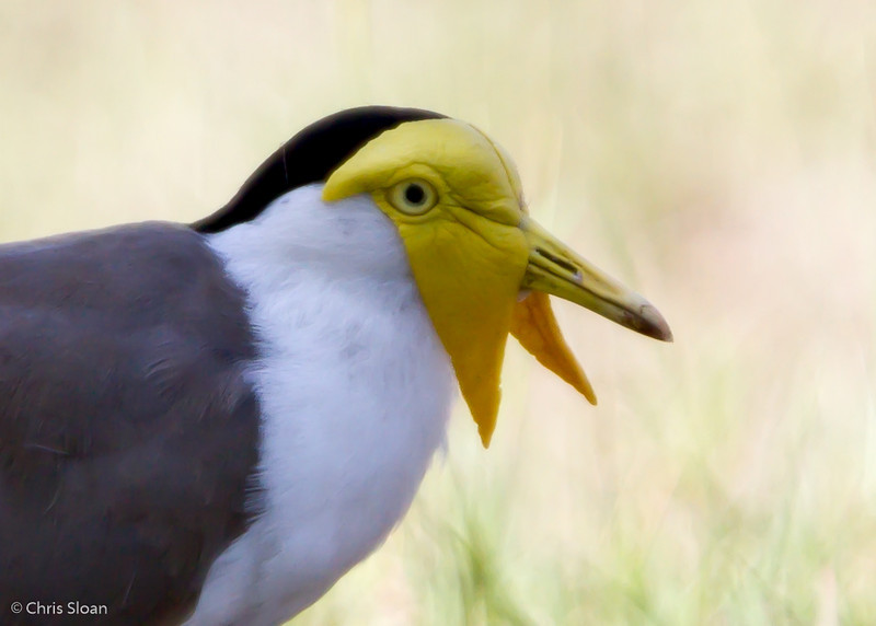 Masked Lapwing at Pacific Adventist University, Port Moresby, Papua New Guinea (09-29-2013) 009-18.jpg