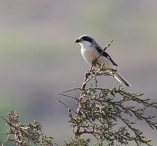 Mustaotsalepinkäinen (Lanius minor)