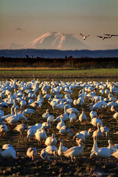 Mountain Geese