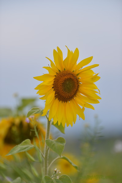 Sunflower Lonay_20092020 (48).JPG