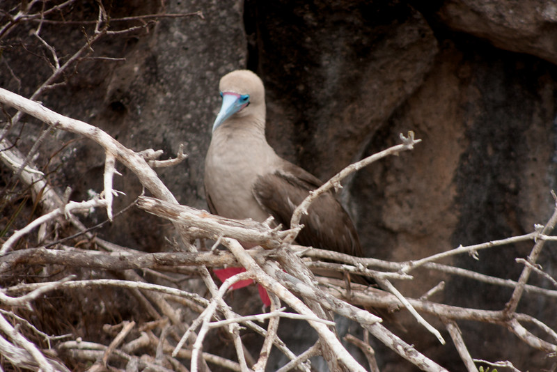 Female Red Footed Booby in Nest : Journey into Genovesa Island in the Galapagos Archipelago