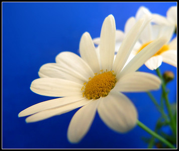 Daisies: Only White